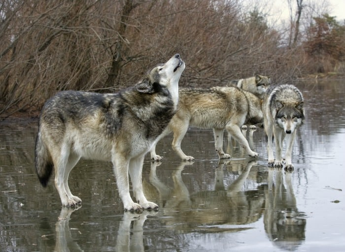 Grey wolf howling to call the pack together