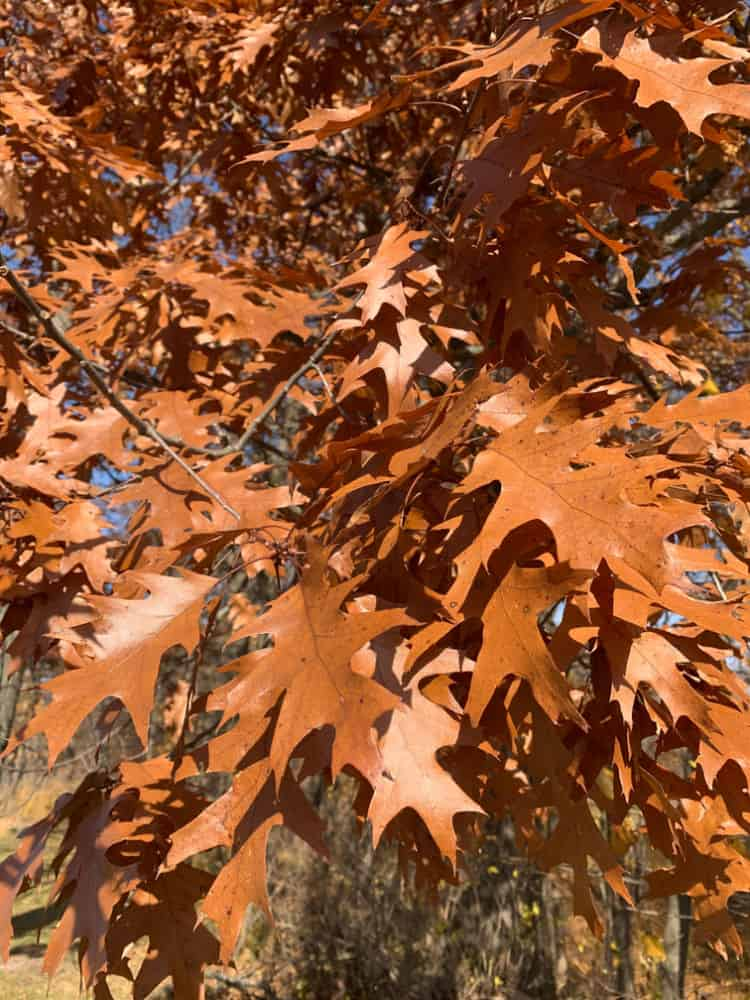 brown oak leaves in the fall Wisconsin
