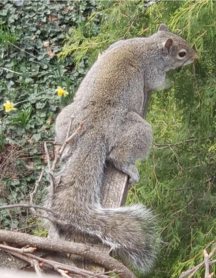 The Hit List - Spring beauty - resting squirrel